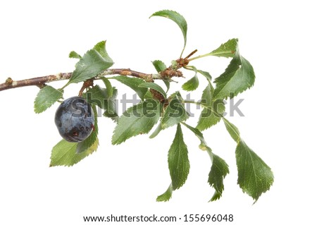 Sloe, blackthorn fruit and foliage isolated against white