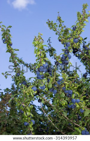 Sloes in the Hedge