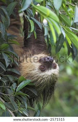 Sloth - stock photo