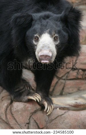 Sloth bear (Melursus ursinus), also known as Stickney bear. - stock photo