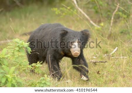 Sloth Bear  (Melurus ursinus) - Looking At You - stock photo