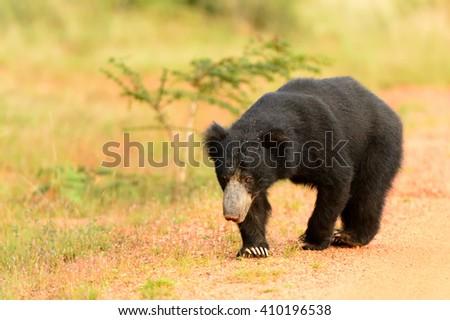 Sloth Bear  (Melurus ursinus) - Prowling - stock photo