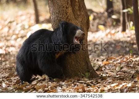 sloth bear/sloth bear/india - stock photo