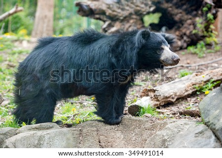 Sloth black asian bear portrait while looking at you - stock photo