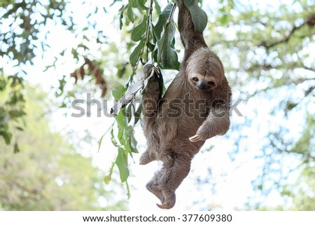 Sloth climbing tree in nature reserve in Brazil - stock photo