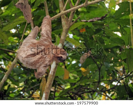 Sloth hanging from a branch in the jungle of Panama, Central America - stock photo
