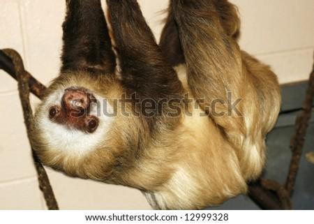 sloth hanging upside down - stock photo