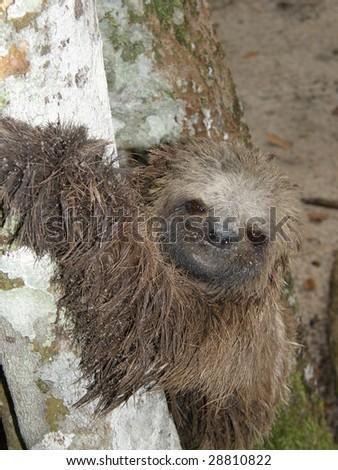 sloth in brazil - stock photo