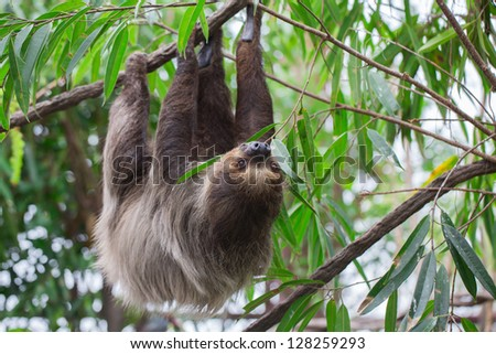 Sloth on the tree