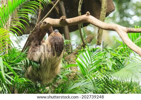 Sloth on the tree - stock photo
