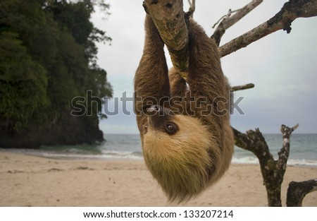 sloth, three toe male juvenile hanging in tree in tropical rainforest jungle,  costa rica, central america. latina countries call them osos perezosos which means lazy bear - stock photo