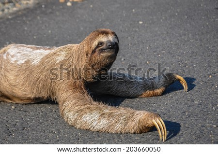Sloth trying to cross the road at Corcovado National Park, Costa Rica. - stock photo