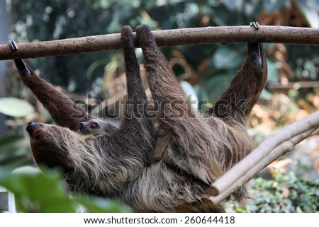 Sloth with young on the tree - stock photo