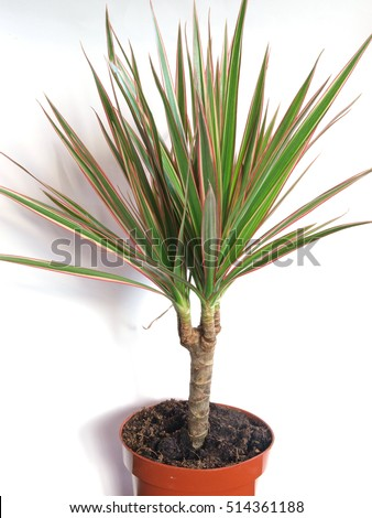 Slow growing flowering container plant dracaena marginata or red edged dracaena or Madagascar dragon tree in flower pot close up on white background.