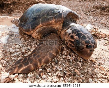 turtle man single