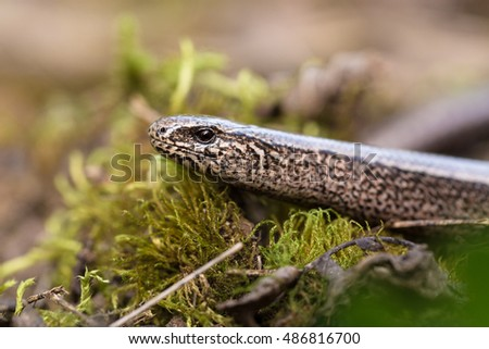Slow Worm or Blind Worm, Anguis fragilis. Slow Worm lizards are often mistaken for snakes. His food is generally pest insects. Focus to eye. Czech nature and wildlife