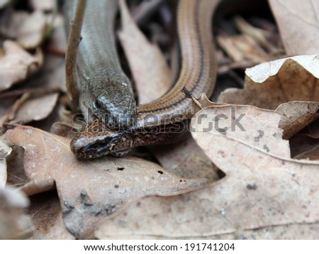 Slow worms (Anguis fragilis) mating - stock photo