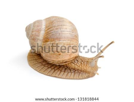 slowly snail creeping on white background - stock photo