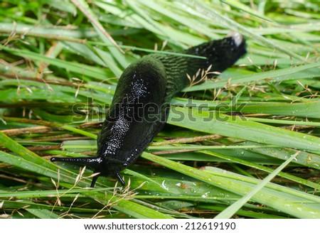 slug in thick grass - stock photo