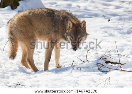 slyly looking timber wolf in winter snow - stock photo