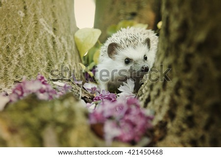 small, adorable, funny and cute hedgehog climbs the tree lilacs bloom and cherries in a forest at sunset