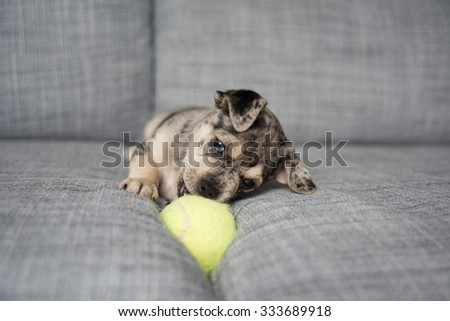 Small Adorable Terrier Mix Puppy on Couch Playing with Tennis Ball - stock photo