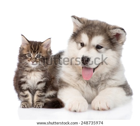 small alaskan malamute dog with little maine coon cat together. isolated on white background - stock photo