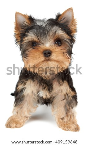 Small and cute puppy of the Yorkshire Terrier on white - stock photo