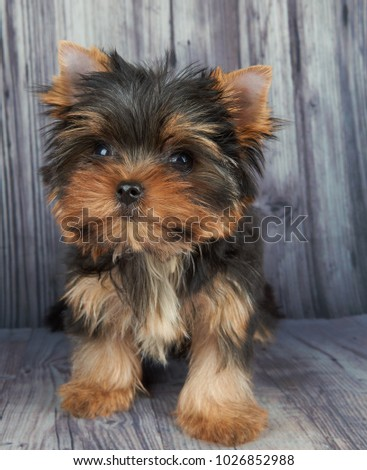 Small and cute puppy of the Yorkshire Terrier sits on gray wooden floor