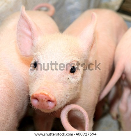 Small and Funny Pink Piglet at Farm