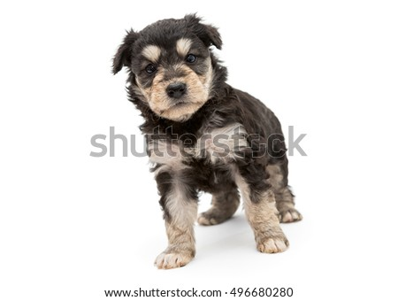 Small and serious puppy Terrier, isolated on white