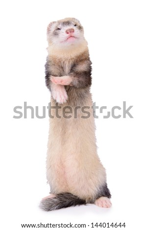 small animal rodent ferret isolated on a white background - stock photo