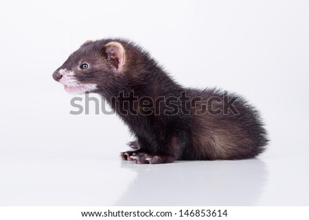 small animal rodent ferret on a white background - stock photo