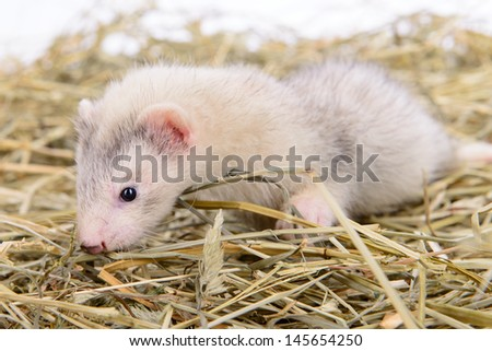 small animal rodent ferret sits on dry hay