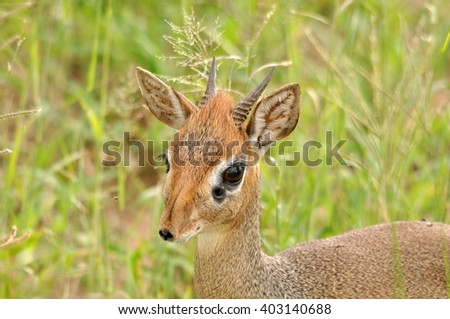 Small antelope dik-dik, Africa - stock photo