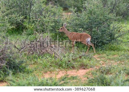 Small antelope Kirks (Damara) Dik-Dik; Madoque kirkii; Namibia, Africa - stock photo