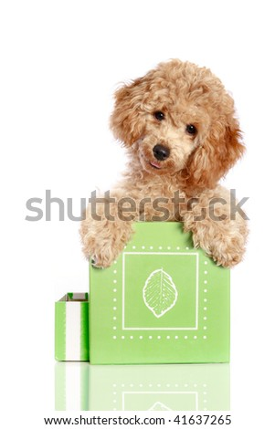 Small apricot poodle puppy is in a gift box, isolated on white background - stock photo