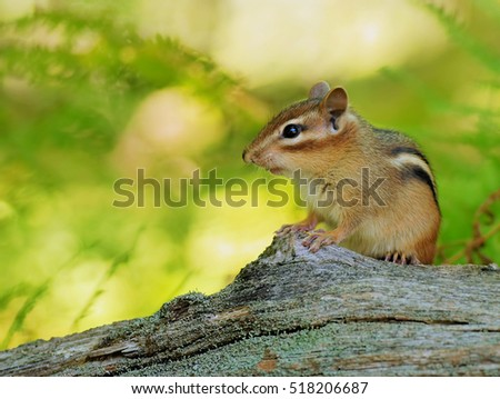 Small baby chipmunk sitting on a fallen tree