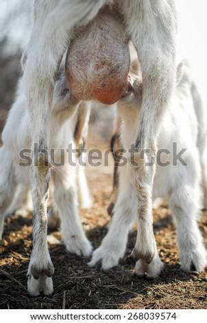 small baby goats sucks a goats udder - stock photo