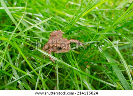 small baby toad crawls through wet grass