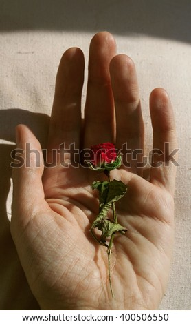 small beautiful rose in the palm
