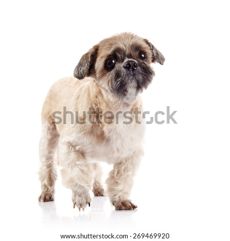 Small beige doggie of breed of a shih-tzu - stock photo