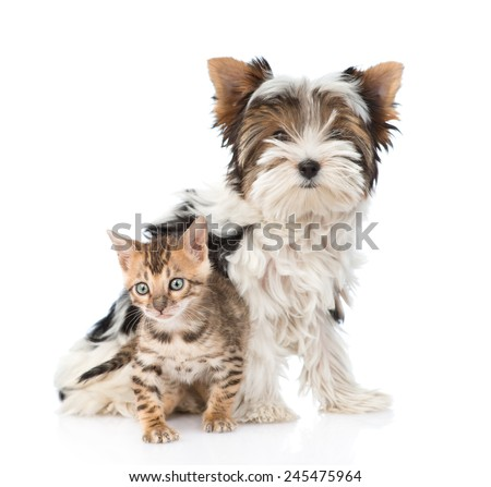 Small bengal cat and Biewer-Yorkshire terrier dog together. isolated on white background - stock photo