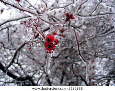 small berries on a tree that are covered in ice - stock photo