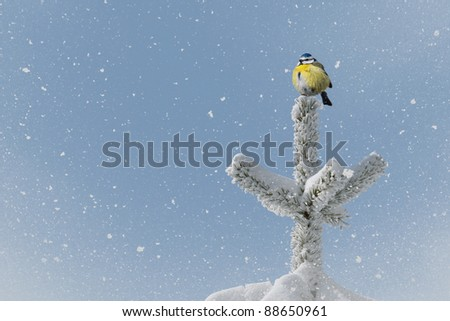 small bird (blue tit) on tree top in winter time - stock photo