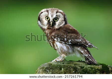 Small bird Boreal owl, Aegolius funereus, sitting on larch stone with clear green forest background   - stock photo