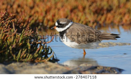 Small bird (common ringed plover) in water of estuary - stock photo