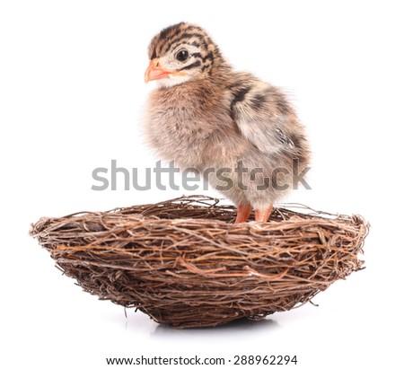 Small bird nestling waiting in nest - stock photo