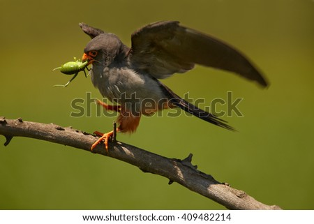 Small bird of prey, Red-footed Falcons, Falco vespertinus, male with big grasshopper prey in beak, on branch against green background. Hungary. - stock photo