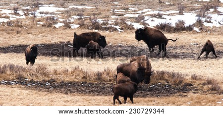 Small bison herd frolicking and fighting in Yellowstone National Park in winter - stock photo